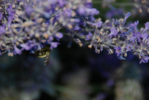 A bumblebee clinging to a branch of SSI lavender.