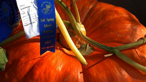 Giant prize pumpkin awarded first place at SSI Fall Fair.